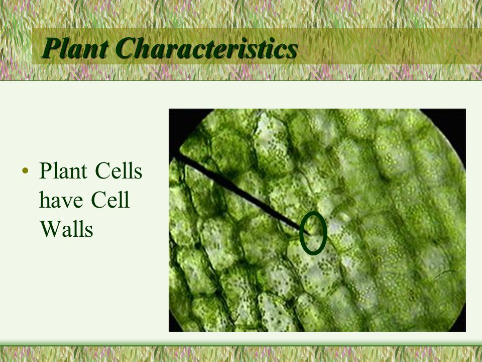 What is a Cuticle? –A waxy layer that coats the surface of stems, leaves, and other plant parts exposed to the air. –Keeps plants from drying out.