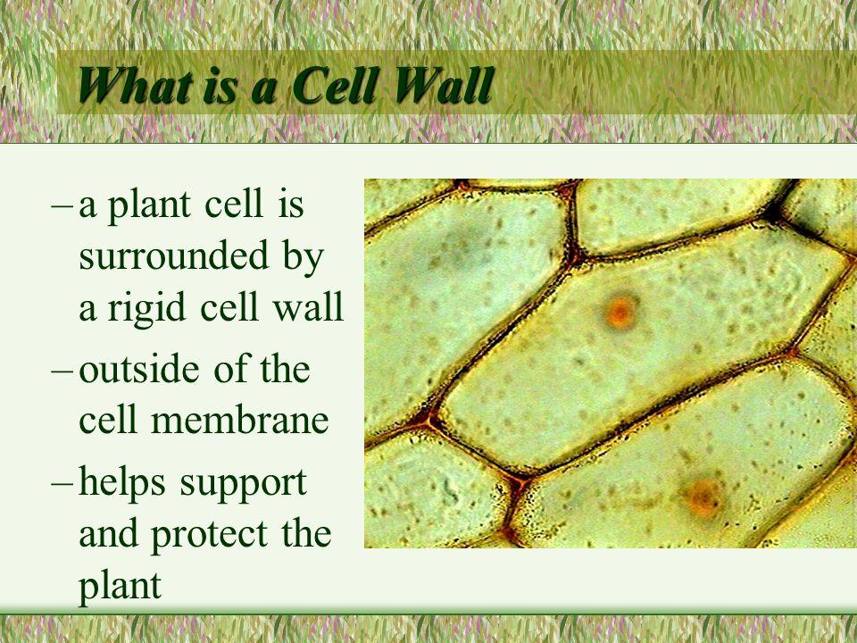 Plant Characteristics Plant Cells have Cell Walls