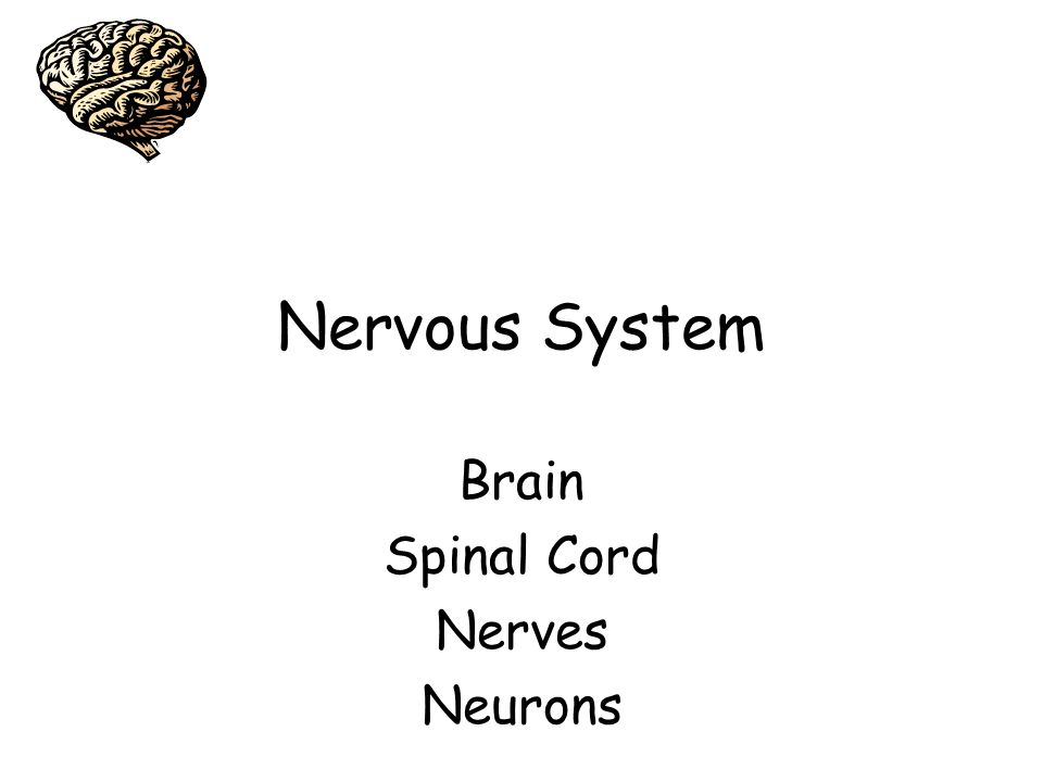 Nervous System Brain Spinal Cord Nerves Neurons