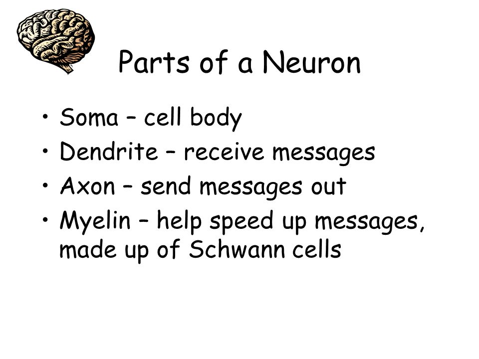 Parts of a Neuron Soma – cell body Dendrite – receive messages Axon – send messages out Myelin – help speed up messages, made up of Schwann cells