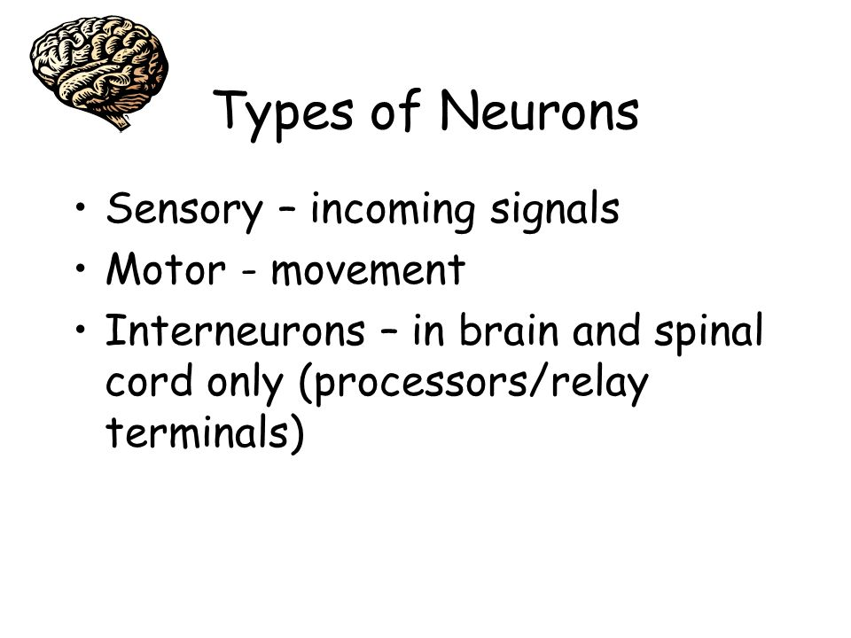 Types of Neurons Sensory – incoming signals Motor - movement Interneurons – in brain and spinal cord only (processors/relay terminals)