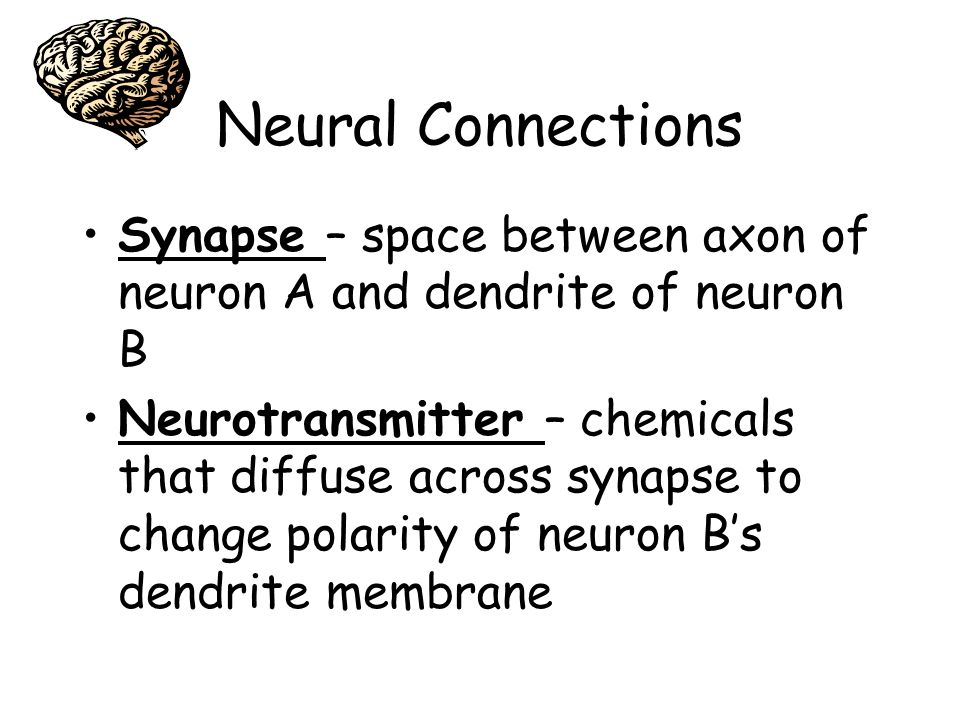 Neural Connections Synapse – space between axon of neuron A and dendrite of neuron B Neurotransmitter – chemicals that diffuse across synapse to chang