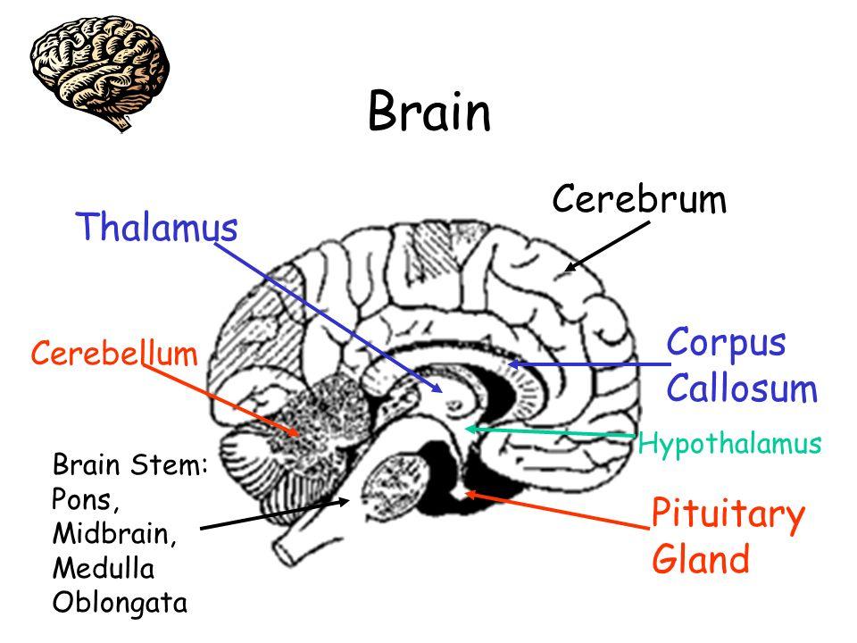 Brain Cerebrum Corpus Callosum Pituitary Gland Hypothalamus Brain Stem: Pons, Midbrain, Medulla Oblongata Cerebellum Thalamus