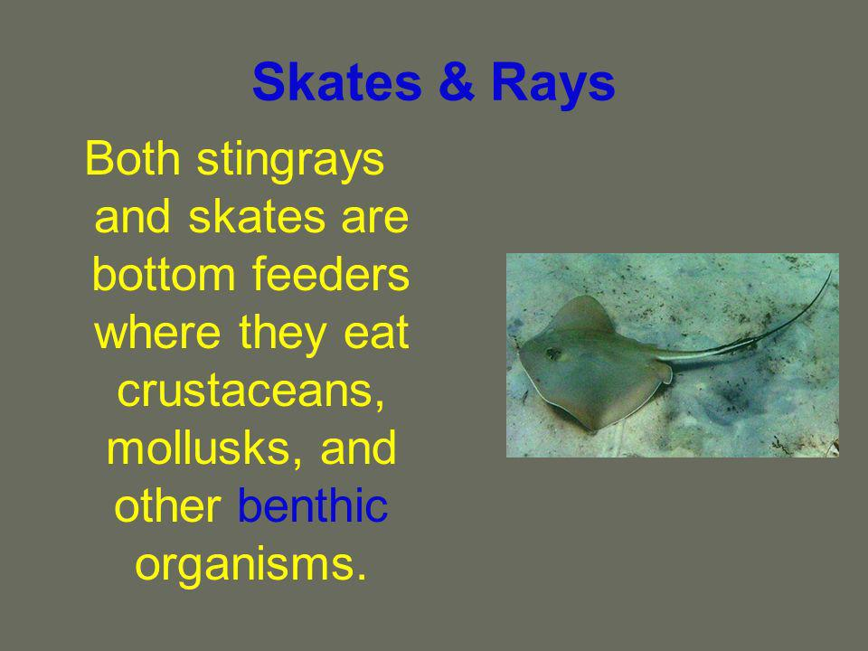 Skates & Rays Both stingrays and skates are bottom feeders where they eat crustaceans, mollusks, and other benthic organisms.