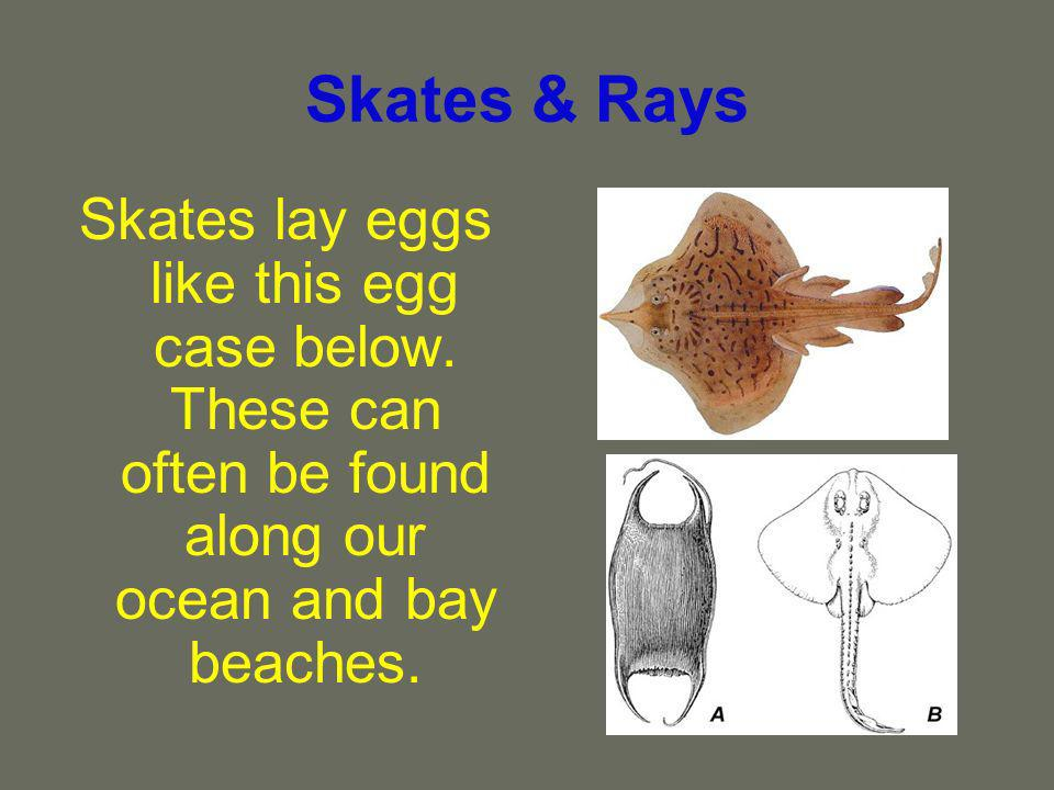 Skates & Rays Skates lay eggs like this egg case below.