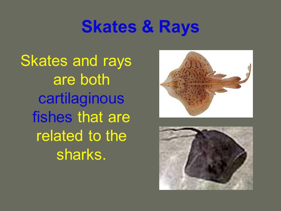Skates & Rays Skates and rays are both cartilaginous fishes that are related to the sharks.