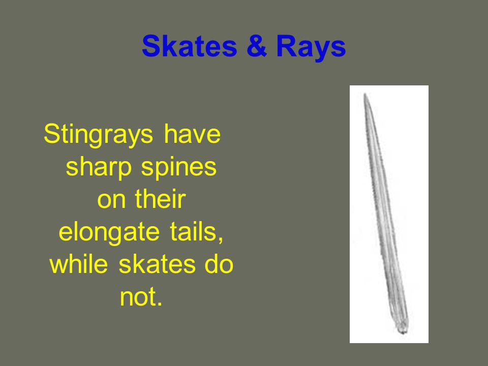 Skates & Rays Stingrays have sharp spines on their elongate tails, while skates do not.