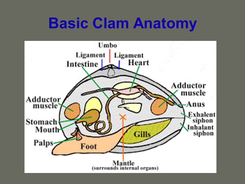 Basic Clam Anatomy