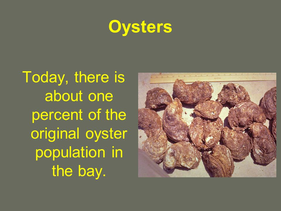 Oysters Today, there is about one percent of the original oyster population in the bay.