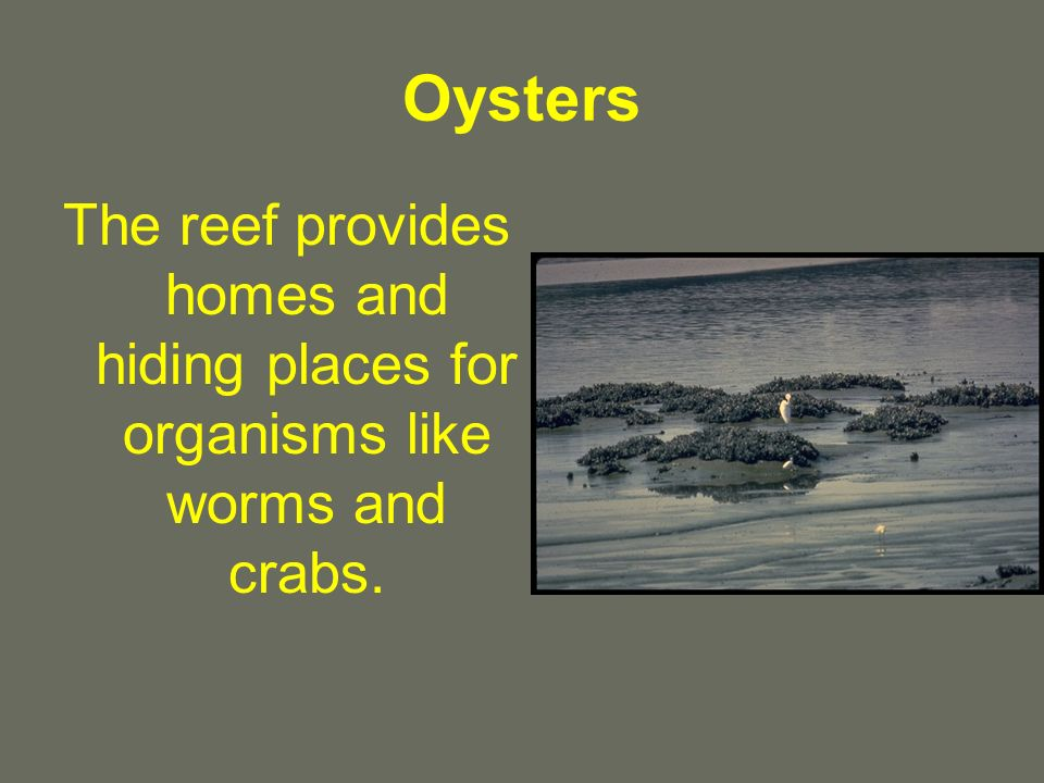 Oysters The reef provides homes and hiding places for organisms like worms and crabs.