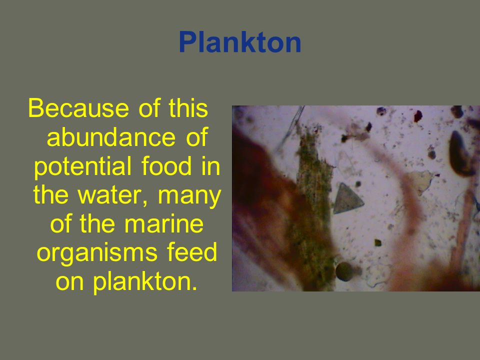Plankton Because of this abundance of potential food in the water, many of the marine organisms feed on plankton.
