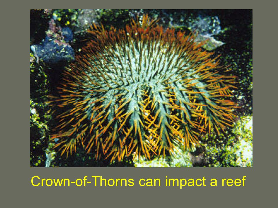 Crown-of-Thorns can impact a reef
