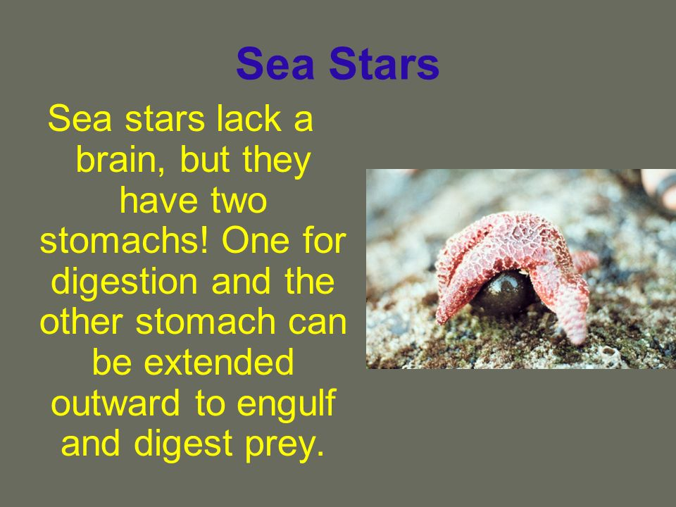 Sea Stars Sea stars lack a brain, but they have two stomachs! One for digestion and the other stomach can be extended outward to engulf and digest pre