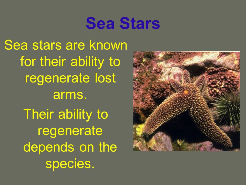 Sea Stars Sea stars are known for their ability to regenerate lost arms. Their ability to regenerate depends on the species.