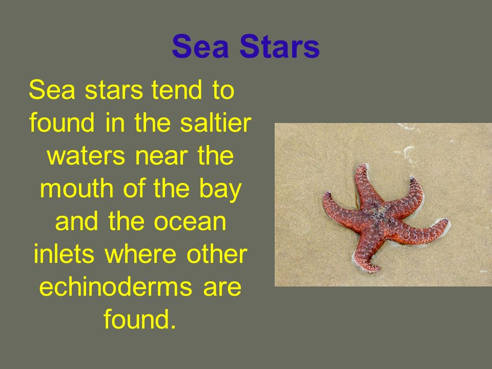 Sea Stars Sea stars tend to found in the saltier waters near the mouth of the bay and the ocean inlets where other echinoderms are found.