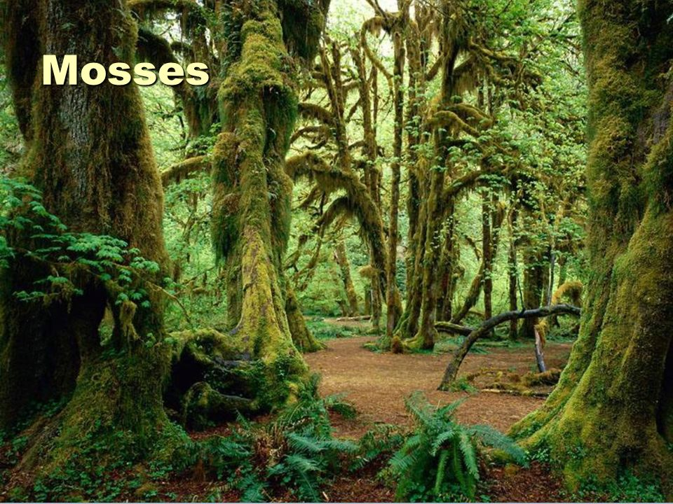 Mosses and Liverworts Small Live on bark, rocks, and soil No vascular system Must live in places that are wet No true roots, stems, or leaves