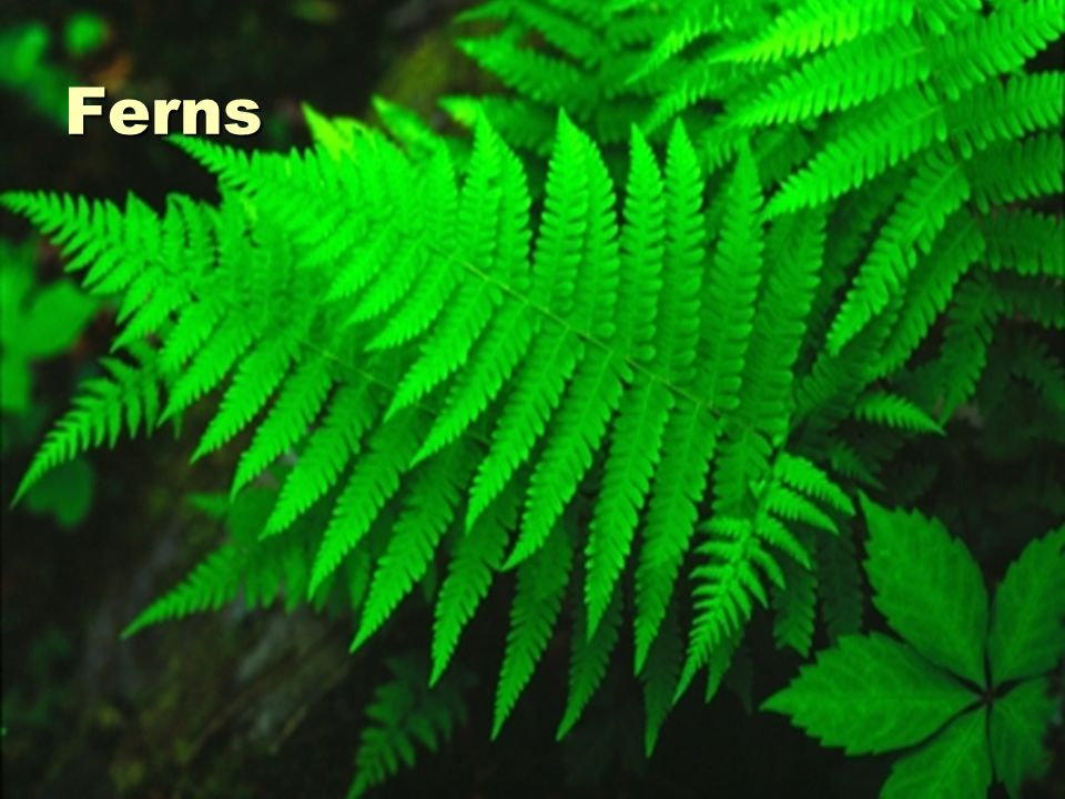Ferns, Horsetails, and Club Mosses: Grow tall Grow tall Have vascular systems Have vascular systems