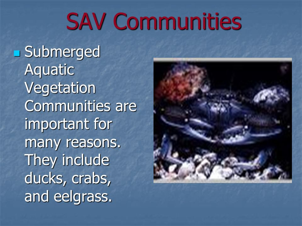 SAV Communities Submerged Aquatic Vegetation Communities are important for many reasons.