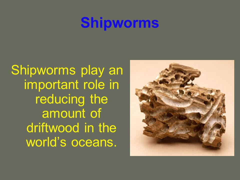 Shipworms Shipworms play an important role in reducing the amount of driftwood in the worlds oceans.