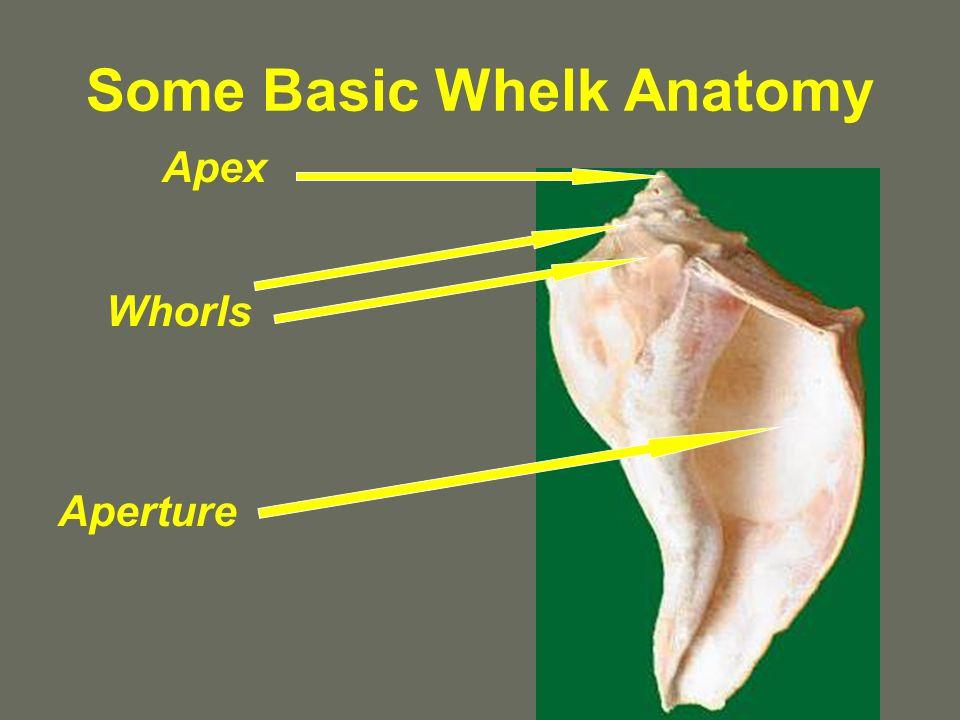Some Basic Whelk Anatomy Apex Whorls Aperture