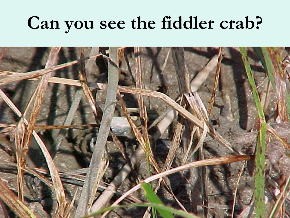 Do you know what made all these holes? Marsh Fiddler Crabs