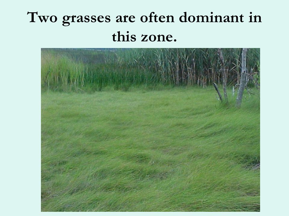 The transition between the lower and upper marsh can be quite distinct!