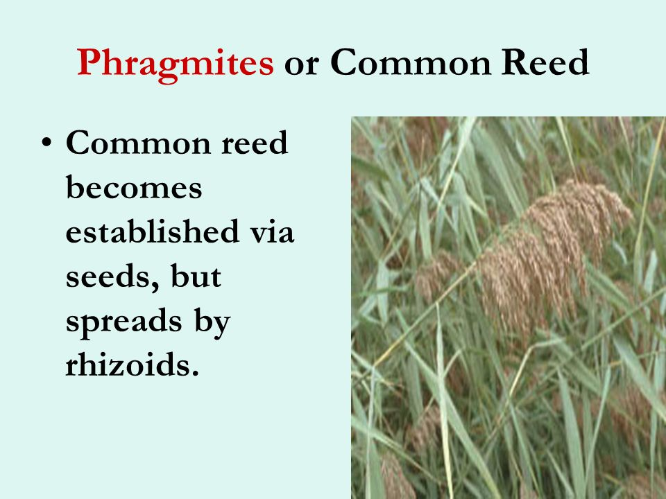 Phragmites or Common Reed This reed is a familiar invader of marshy areas.