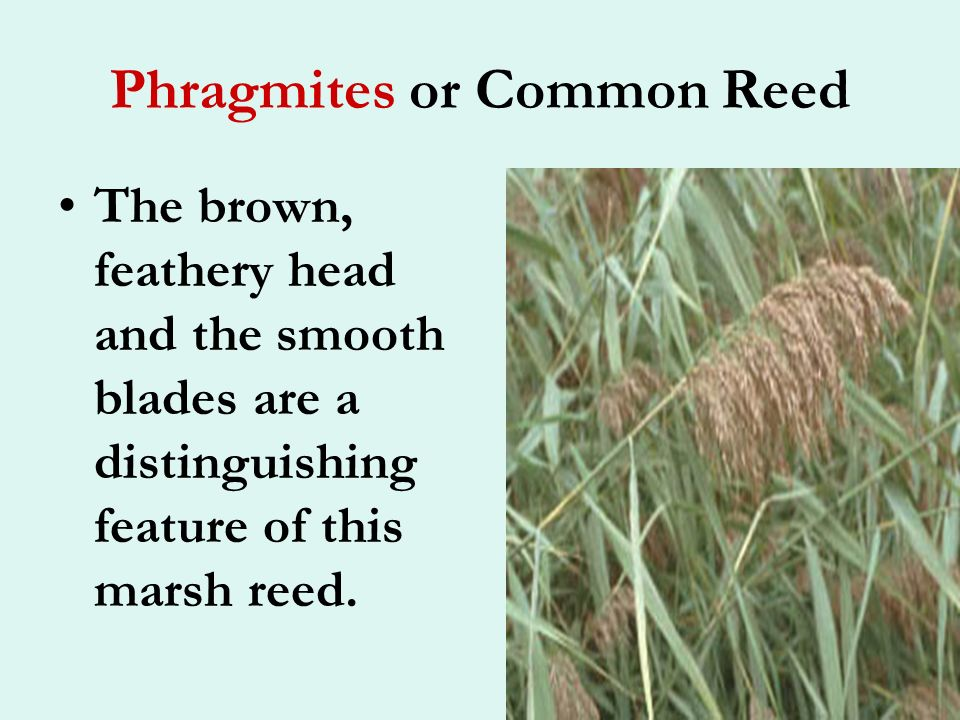 Phragmites or Common Reed Common reed becomes established via seeds, but spreads by rhizoids.