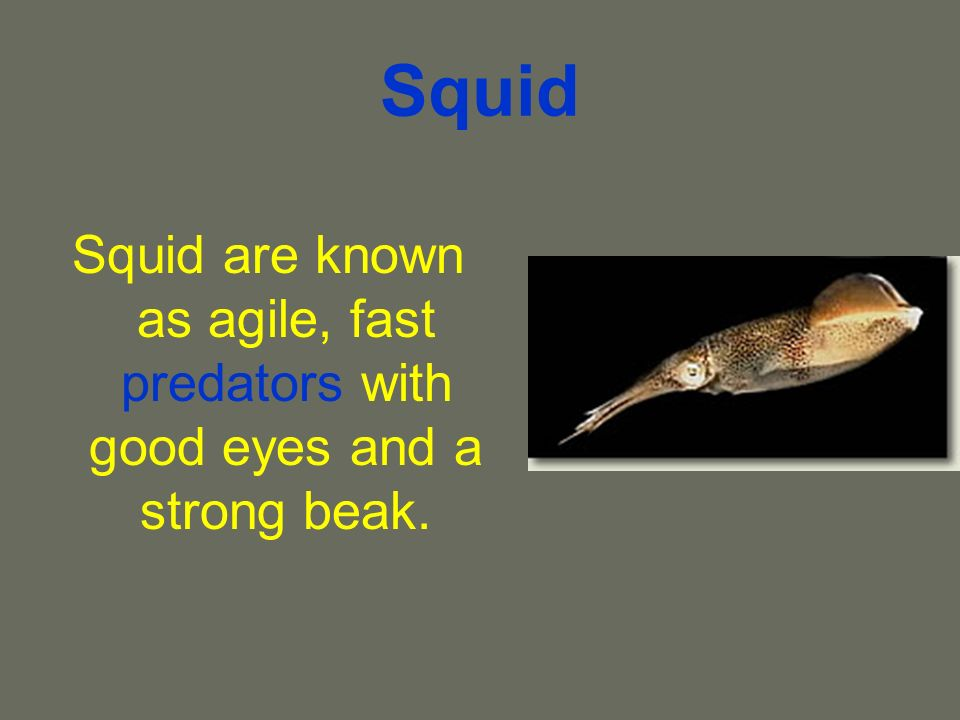 Squid Squid are known as agile, fast predators with good eyes and a strong beak.