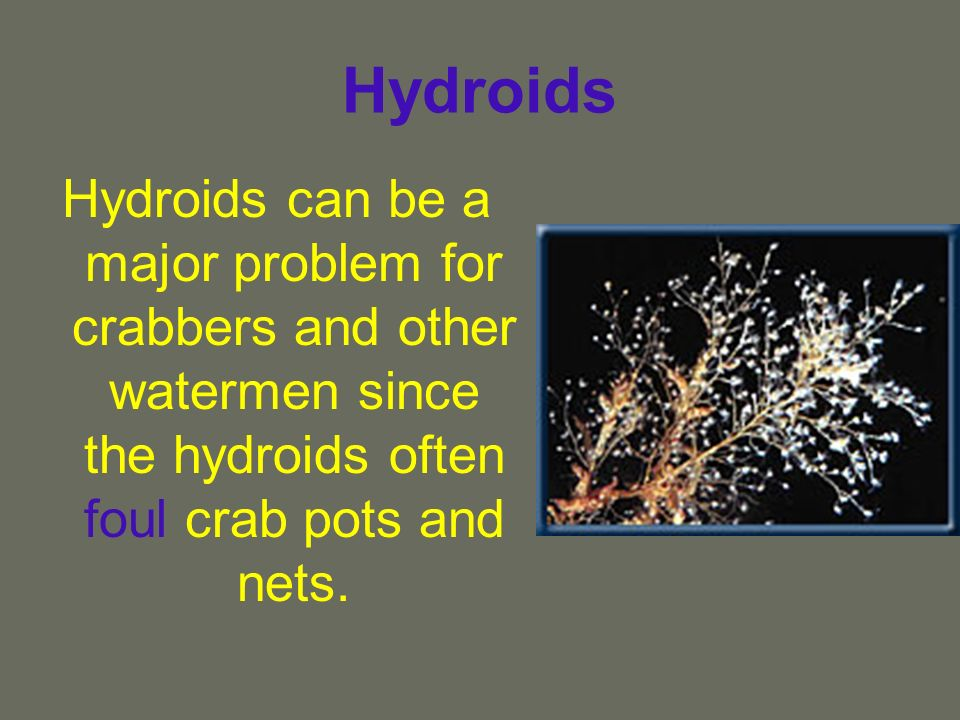 Hydroids Hydroids can be a major problem for crabbers and other watermen since the hydroids often foul crab pots and nets.