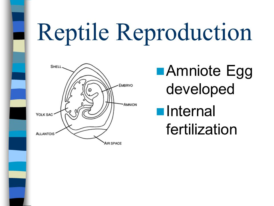 Reptile Reproduction Amniote Egg developed Internal fertilization