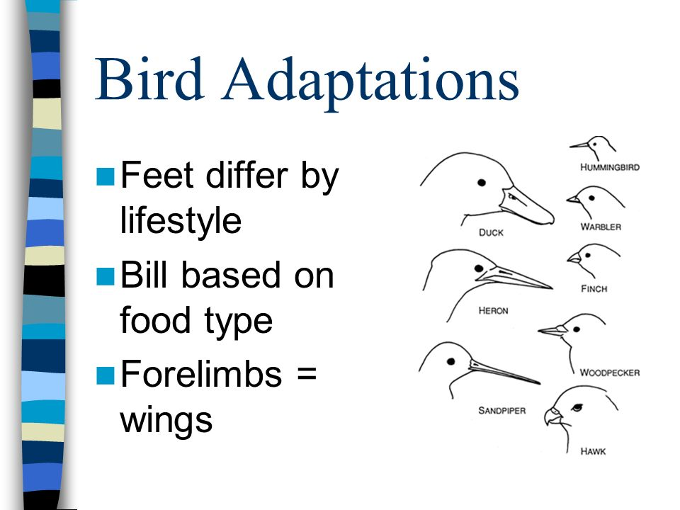 Bird Adaptations Feet differ by lifestyle Bill based on food type Forelimbs = wings