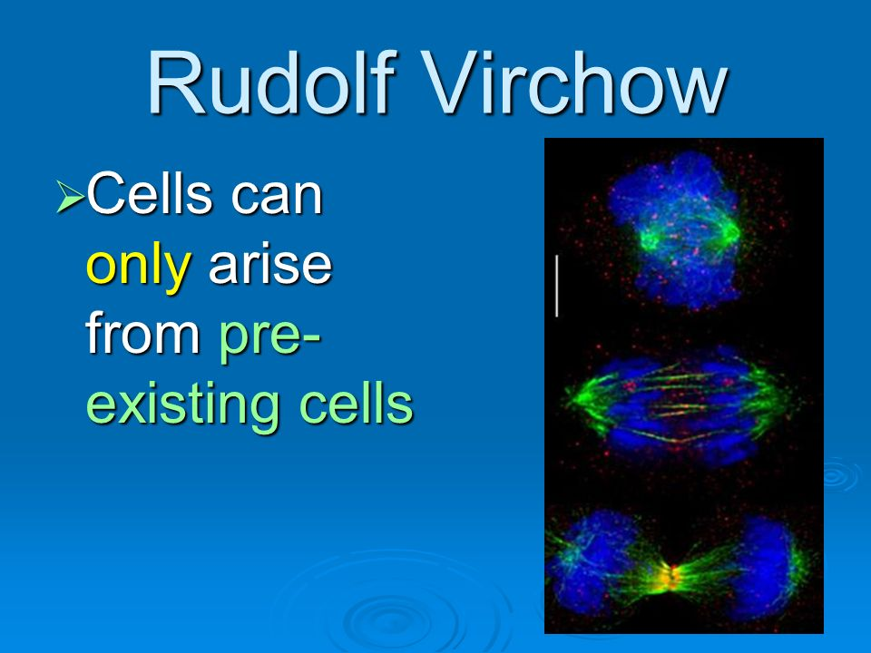Rudolf Virchow Cells can only arise from pre- existing cells Cells can only arise from pre- existing cells