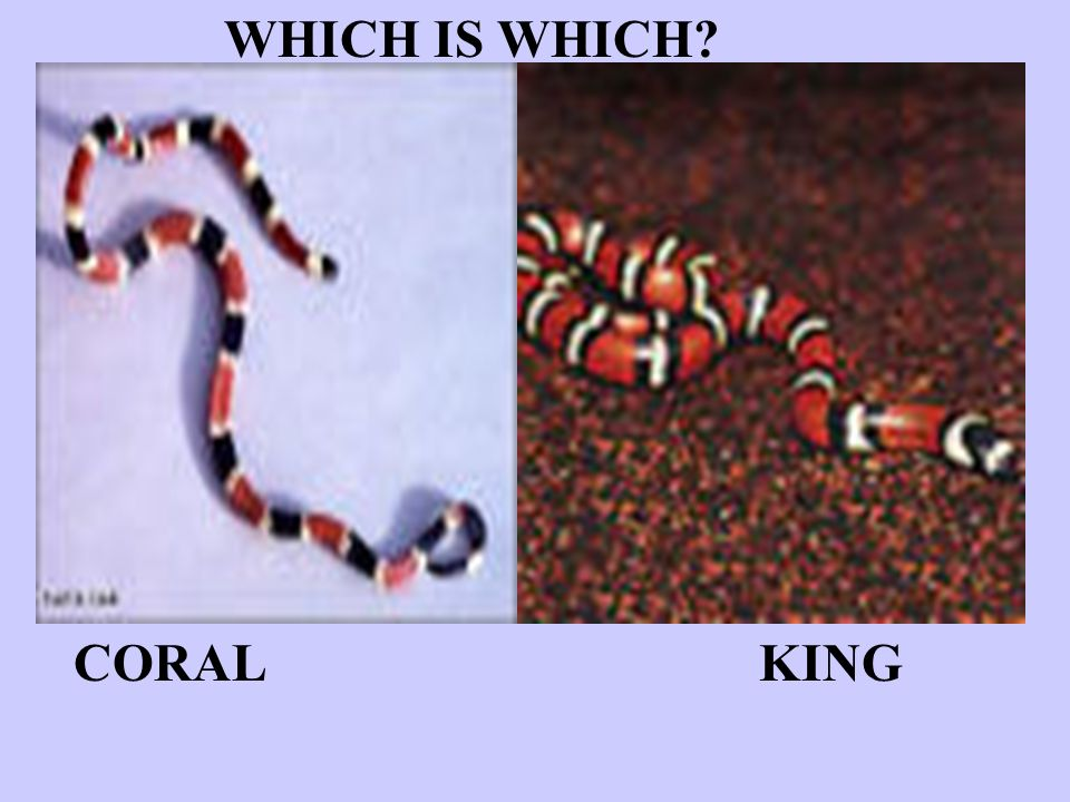 WHICH IS WHICH? CORAL KING