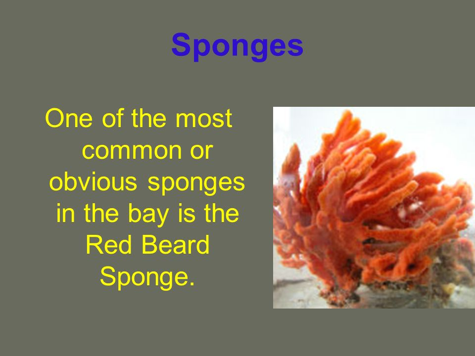 Sponges One of the most common or obvious sponges in the bay is the Red Beard Sponge.