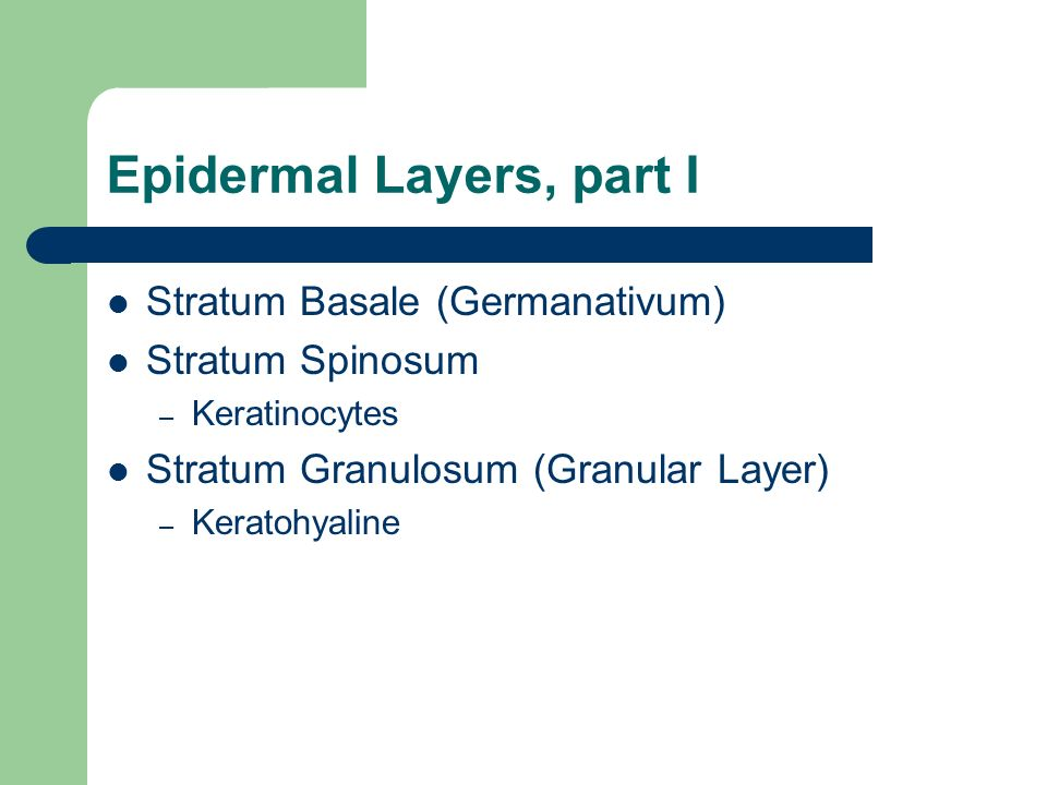 Epidermal Layers, part I Stratum Basale (Germanativum) Stratum Spinosum – Keratinocytes Stratum Granulosum (Granular Layer) – Keratohyaline