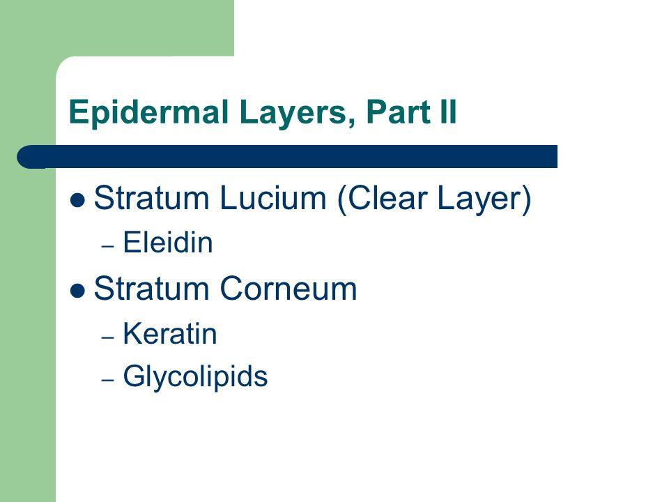 Epidermal Layers, Part II Stratum Lucium (Clear Layer) – Eleidin Stratum Corneum – Keratin – Glycolipids