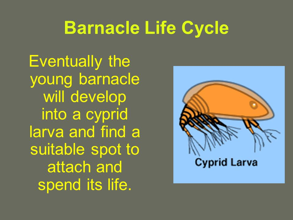 Barnacle Life Cycle Eventually the young barnacle will develop into a cyprid larva and find a suitable spot to attach and spend its life.
