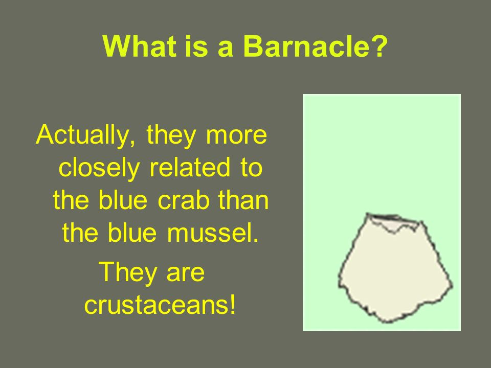 What is a Barnacle. Actually, they more closely related to the blue crab than the blue mussel.