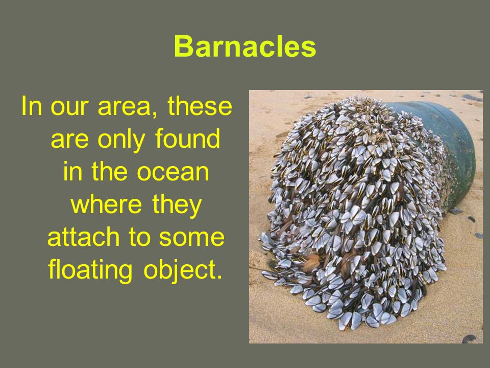 Barnacles In our area, these are only found in the ocean where they attach to some floating object.