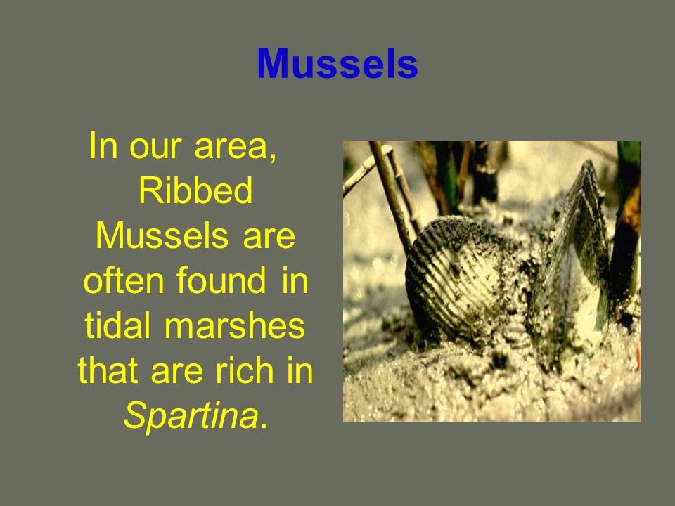 Mussels In our area, Ribbed Mussels are often found in tidal marshes that are rich in Spartina.