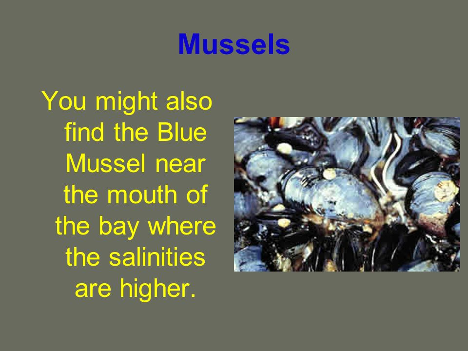 Mussels Blue Mussels are often found along the pilings of the Chesapeake Bay Bridge Tunnel where they are food for many of the local fish species.