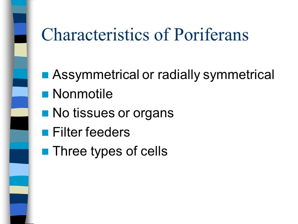 Characteristics of Poriferans Assymmetrical or radially symmetrical Nonmotile No tissues or organs Filter feeders Three types of cells