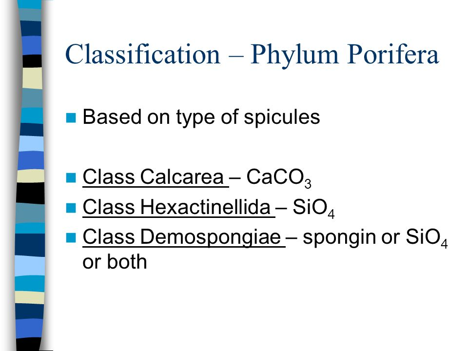 Classification – Phylum Porifera Based on type of spicules Class Calcarea – CaCO 3 Class Hexactinellida – SiO 4 Class Demospongiae – spongin or SiO 4 or both