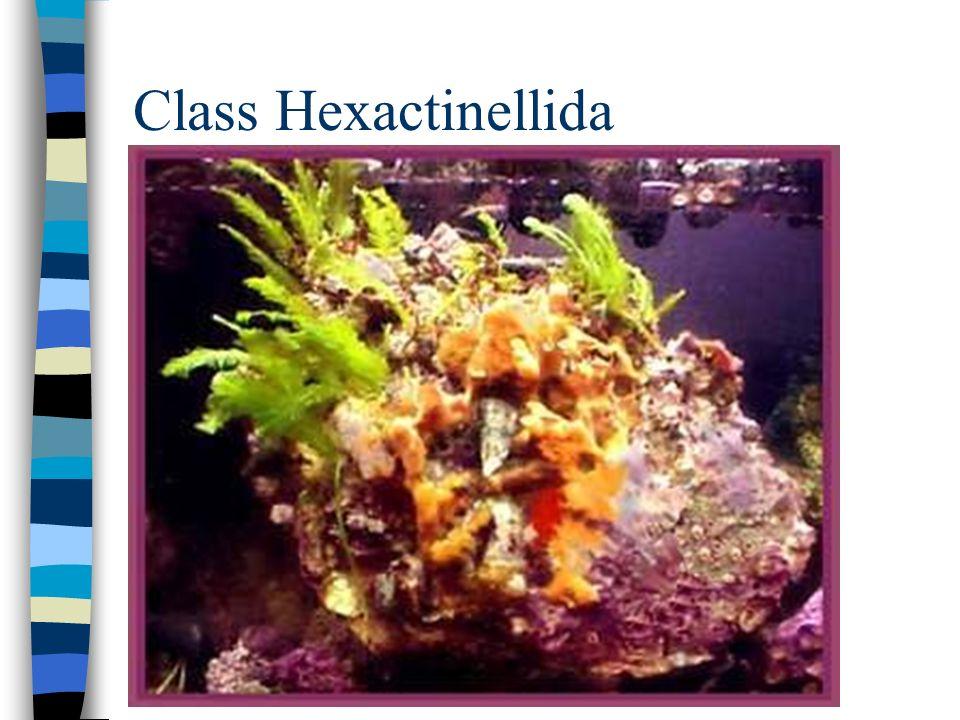 Class Hexactinellida