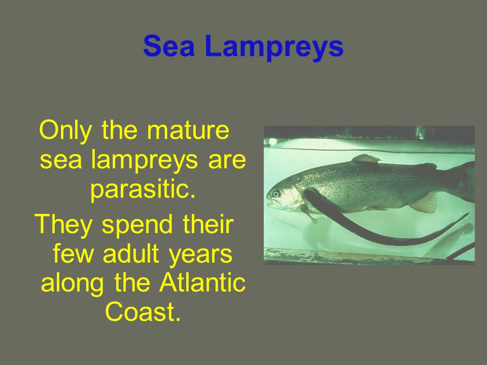 Sea Lampreys Only the mature sea lampreys are parasitic. They spend their few adult years along the Atlantic Coast.