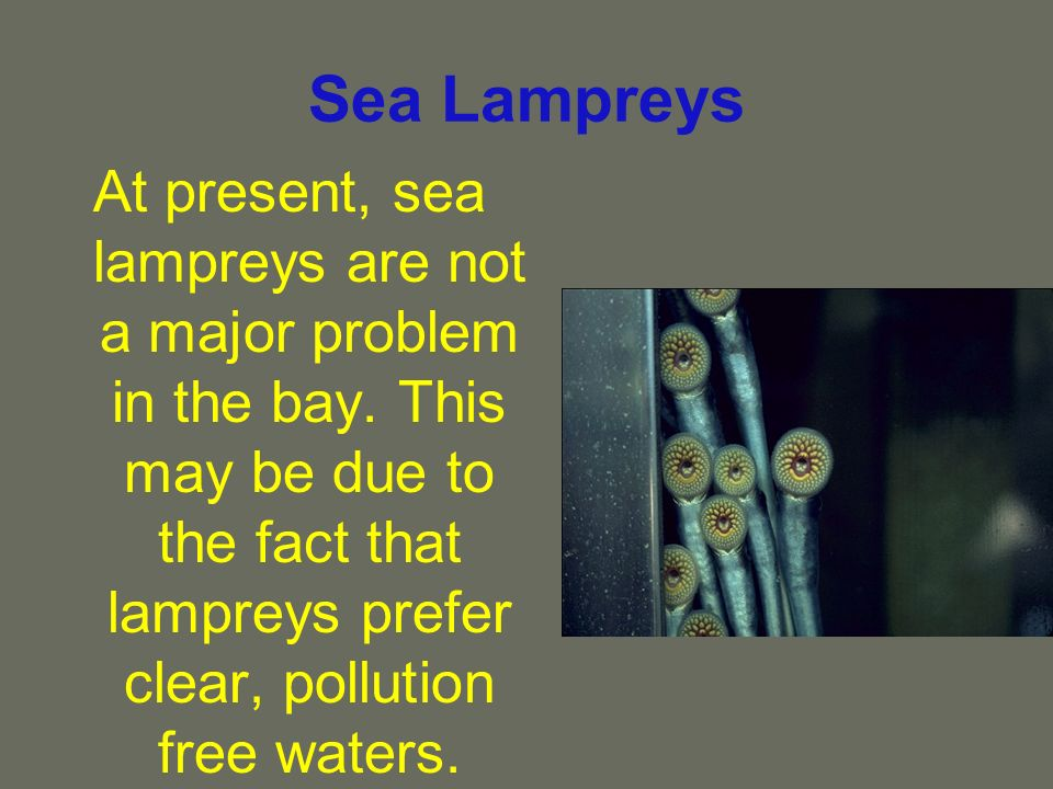 Sea Lampreys At present, sea lampreys are not a major problem in the bay. This may be due to the fact that lampreys prefer clear, pollution free water