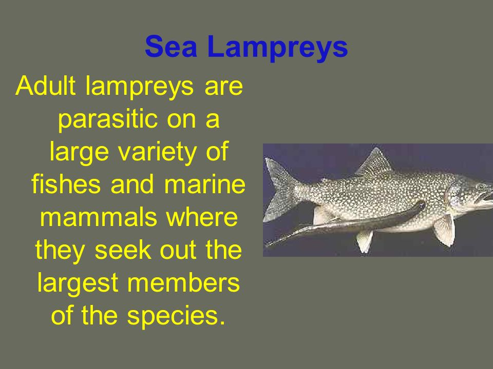 Sea Lampreys Adult lampreys are parasitic on a large variety of fishes and marine mammals where they seek out the largest members of the species.