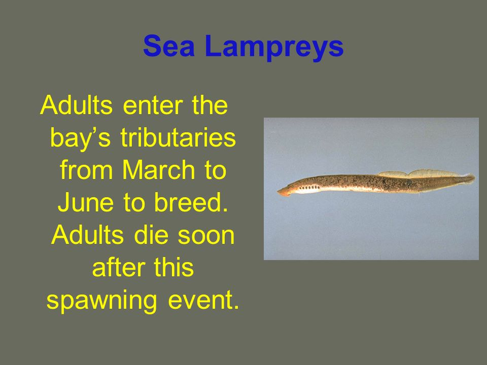 Sea Lampreys Adults enter the bays tributaries from March to June to breed.