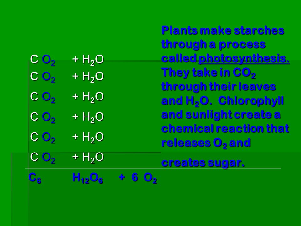 Plants make starches through a process called photosynthesis. They take in CO 2 through their leaves and H 2 O. Chlorophyll and sunlight create a chem